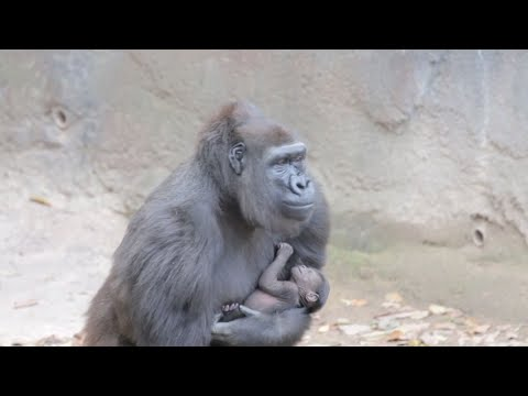 Megan, a 13-year-old endangered western lowland gorilla, introduced her one week old baby at the Dallas Zoo. (March 14)