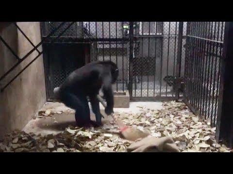 Ο πιο νοικοκύρης χιμπατζής καθαρίζει με… σκούπα