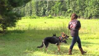 8 month old german shepard puppy training