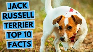 Jack Russell Terrier - TOP 10 Interesting Facts