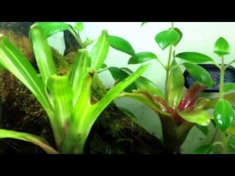 Fighting Poison Dart Frogs Azureus Leucomelas Vivarium Terrarium