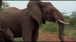 Terrifying Elephant Stampede / Charge  in Kruger National Park