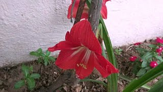 Beautiful Amaryllis Lily Bulbous Plant//Easy To Grow & Care//Bulb Stays For Lifetime
