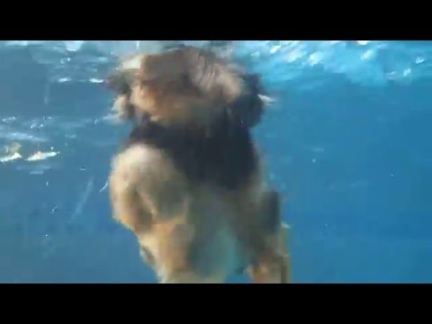 8 yo Yorkipoo Snickers Swimming in pool Naked - no life jacket - underwater view