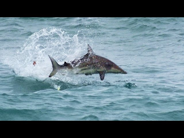 Epic! Blacktip Sharks attacking Topwater Lures