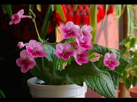 СТРЕПТОКАРПУС. Неприхотливое красиво цветущее растение. Уход в домашних условиях