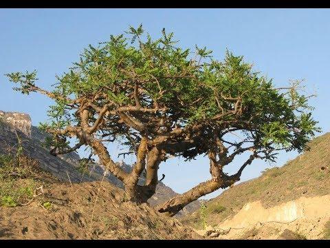 Ладанное дерево (Босвеллия).