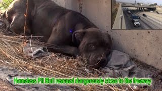 Hope For Paws: Homeless Pit Bull rescued dangerously close to the freeway.