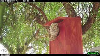 A Day In the Life at a Western Screech Owl Nestbox
