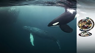 Orcas Co-Exist With Norway's Arctic Fishermen