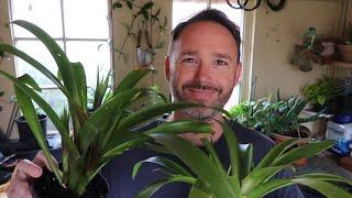 Bromeliad Care and Propagation - Guzmania