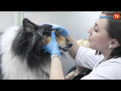 Вакцинация собак и кошек (какие прививки, как часто делать, отметка в ветеринарный паспорт)