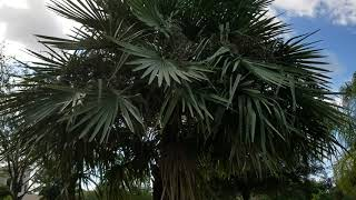 """Copernicia alba """"Silver"""" - The Truth Behind the Caranday Wax Palm From Brazil."""