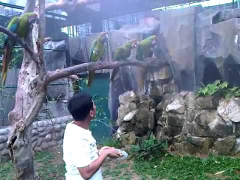 Video berternak burung Macau