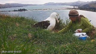 Royal albatross~The chick is weighed, the nest is disinfected~19:10 2019/01/24