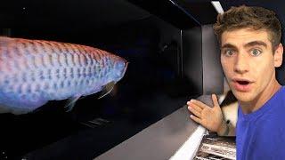 DON'T HAND FEED THIS FISH... *Asian Arowana* 😳