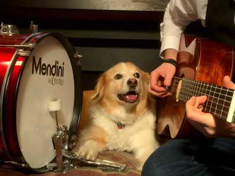 Golden retriever on the drums accompanying Star Wars Cantina