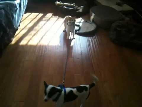 Câine versus pisică