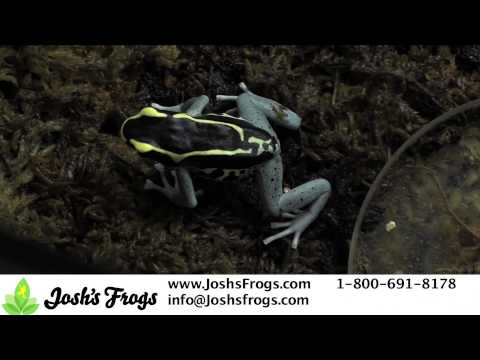 5 Tips for Breeding Dart Frogs