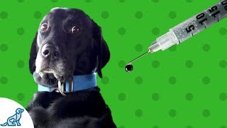 Vaccinating Your Dog-  Does Your Dog Need Vaccinating?