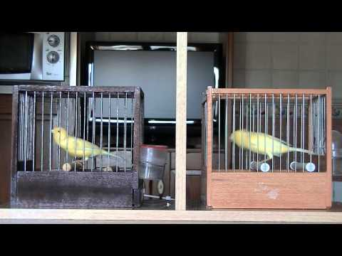 Preview video MALINOIS WATERSLAGER 2013 TINO KLOK ESPANOL