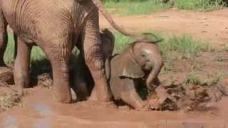 Baby Elephants Play in the Mud
