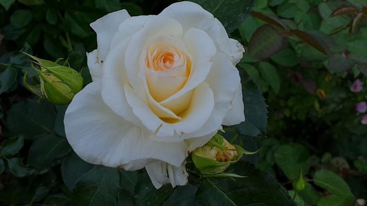 Роза Schneewalzer (Шневальцер), Германия, Tantau