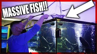MONSTER FISH moved to HUGE aquarium!!
