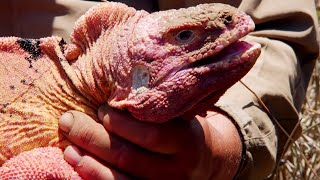The Pink Iguana of Galapagos | BBC Earth