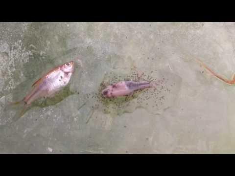 I parassiti che vivono nei fiumi