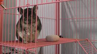 That cute chinchilla now playing with his gnawing stone
