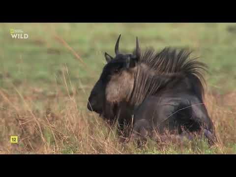 El reino letal de África 4  Praderas- documentales national geographic - documentales de animales