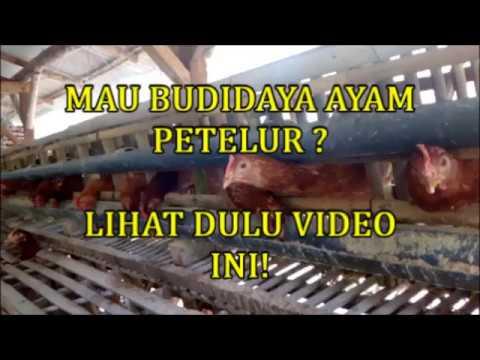 Video KANDANG AYAM PETELUR MODAL TERBESAR BUDIDAYA AYAM