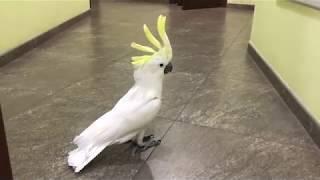 Попугай Какаду Кирюня ругается