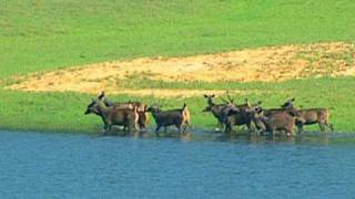 Wild dogs hunting deer in Thekkady, Kerala