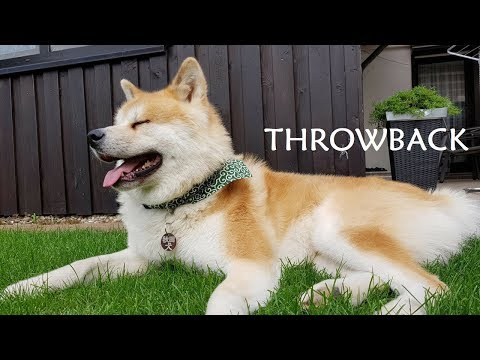 Akita Inu - Throwback (秋田犬)