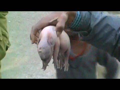 Pig Gives Bith to Elephant Like Baby | सुअर ने जन्म दिया  हाथी जैसे दिखने वाले बच्चे को