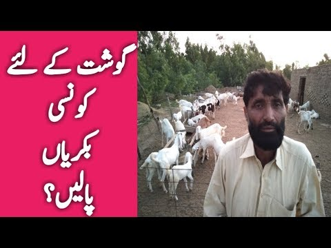 Goat Farming For Meat in Pakistan | best Goats for | Youtube