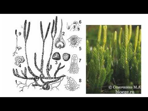 Биология в картинках: Цикл развития плауна булавовидного (Вып. 31)