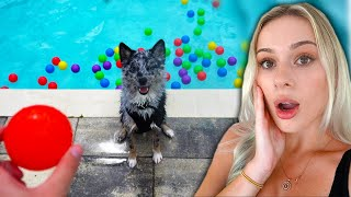 Letting my dog play in a pool FULL OF BALLS!!