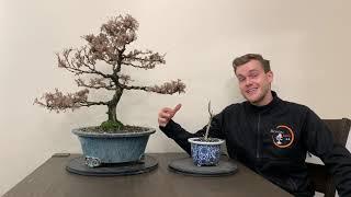 Is your bonsai dead? - The Bonsai Supply