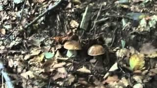 preview picture of video 'Funghi porcini (2°-2012) a Maccagno (VA) e dintorni lago Maggiore-18-09-2012'