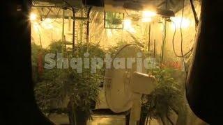Angli, kultivonin kanabis në 11 shtëpi, në pranga 8 shqiptarë