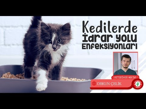 Kedilerde İdrar Yolu Enfeksiyonu Nedir, Belirtileri ve Tedavisi- Veteriner Hekim Orkun ÇELİK