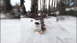 В Боровичском районе 7-летняя девочка погибла в результате падения дерева