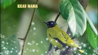Burung Kutilang Emas Gacor Suara Asli Untuk Pemikat Burung, Master Kicau..!!