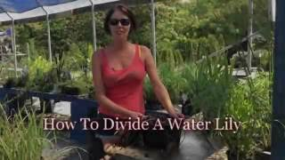 How To Divide A Water Lily
