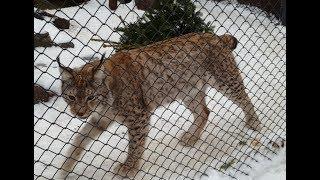 Рыси в Московском зоопарке