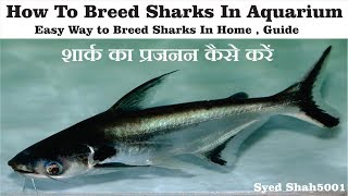 How to breed shark fishes at home breedig pangasius fish in Aquarium easily