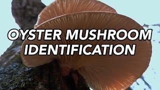 Oyster Mushroom (Pleurotus ostreatus) Identification with Adam Haritan